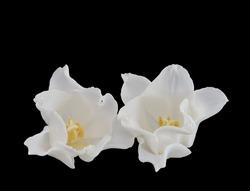 isolated white tulip blossom pair macro on black background