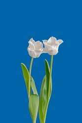 isolated white tulip blossom pair minimalistic macro on bright blue background,with stem and green leaves