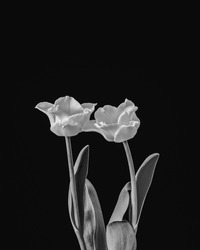 isolated white tulip blossom pair minimalistic monochrome macro on black background,with stem and green leaves