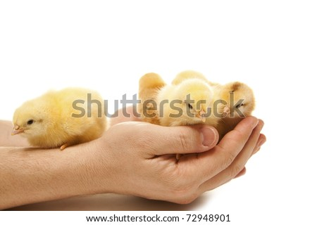 isolated yellow chicken in a man hand