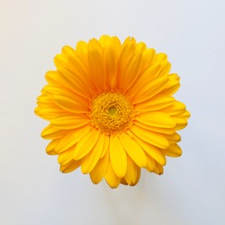 Isolated yellow gerbera flower on white background