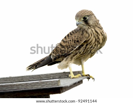 Isolated young common kestrel bird