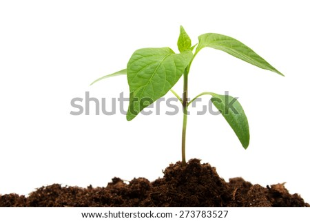 isolated young pepper seedling on white background