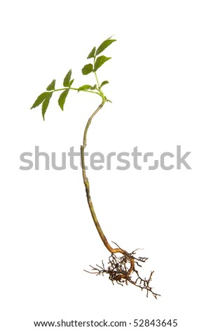 Isolated young plant with roots