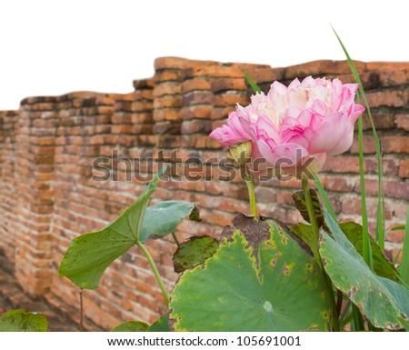 Isolates of the pink lotus leaves to wither on the scene of an old brick wall decay. - stock photo