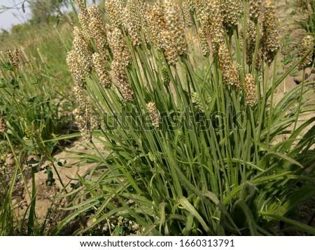ispaghula psyllium, ispaghula beautiful plants  Stock photo ©