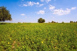 Israel, Negev desert. Triangular flock of migratory birds flying in the blue sky. Fields of flowers in the bright southern sun. Magnificent blooming spring. Lovely warm day.