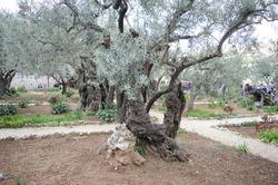 Israel: The Garden of Gethsemane, Mt of Olives, Jerusalem