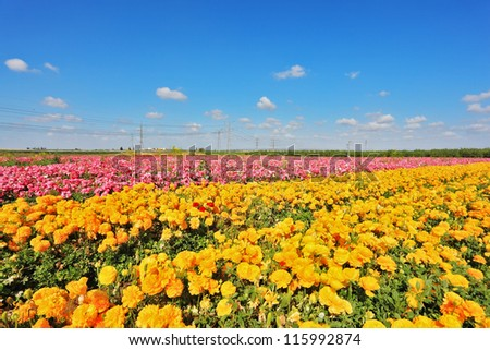 Israeli spring. Kibbutz fields with bright flowers Ranunculus. Flowers are grown for export