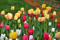 Istanbul, Turkey, 02.04.2018, Red tulips, pink tulips, yellow tulips and white tulips flower blooming in spring garden.
