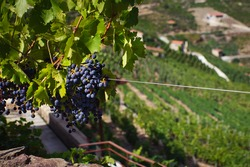 It is a landscape of Galicia with a bunch of grapes in the foreground for making wine with denomination of origin