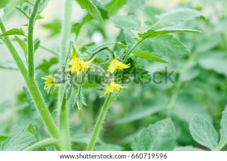 It is a lot of small flowers of yellow color, on a branch, blossoming of a tomato