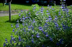 It is a lower woody shrub that offers late summer flowering of deep blue-violet color. The Heavenly Blue variety bears almost silver leaves from below. The flowers are small, as if hairy laths of blue