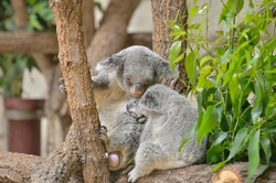 It is a parent and child of koala.