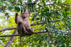 It is a photograph of an animal is Northern Pig-tailed Macaque that lives and lives in national park of Thailand.