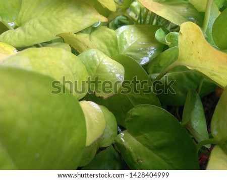 It is a pic of Money Plant leaf. Money plants are mainly used as indoor plant. They bring good luck. Money Plant as one of the best plants to purify air polluted with synthetic chemicals.