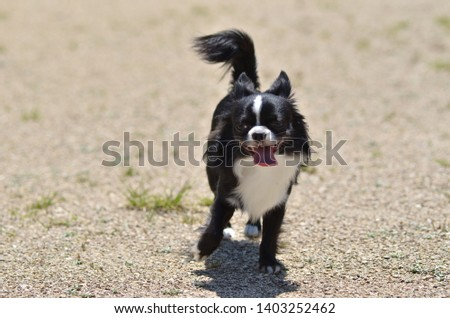 It is a picture of Chihuahuas taking a walk