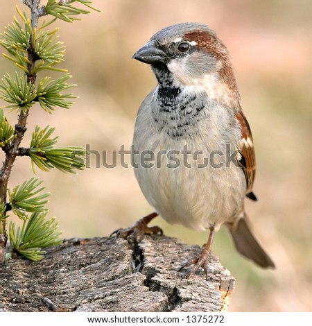 it is a sparrow
