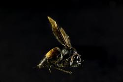 It is Dead wasp on black background.Look like flying.