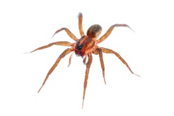 It is Long legs spider isolated on white.