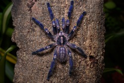 It is one of the most beautiful and outstanding species in the world of Tarantula because of the beauty of the species. This is blue all over the body. With pattern on the bottom Native to India