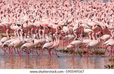 It is picture of flock wild birds flamingos. Kenya. Africa. Nakuru National Park. Lake Bogoria National Reserve. An excellent illustration.