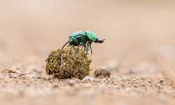 It is possible to encounter scarabs, which are an important part of African wildlife, in all national parks.