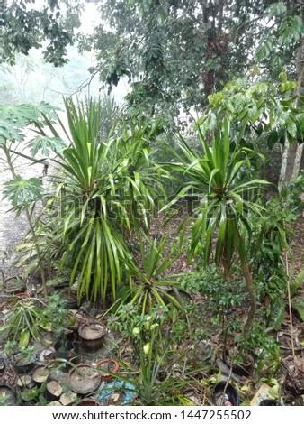 It is raining lush tree #1447255502