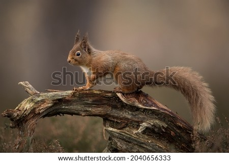 It is Red Squirrel appreciation week thsi week so I thought I should share a photo of one with you. Stok fotoğraf ©