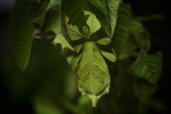 It looks like a leaf with both the core and the veins. That is like being eaten by an insect It will have the appearance of a grasshopper's tentacles, the leaves will be a thread.