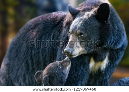 It's a very nice moment in nature. The mother bear and her young bear enjoy their moments together. Blurry background. #1219069468