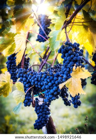 italian bunches of black grapes ready for harvest