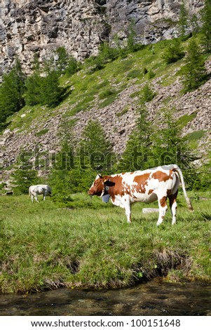 Italian cows during a sunny day close to Susa, Piedmont, Italian Alps - stock photo