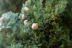 Italian Cypress (Cupressus sempervirens), texture closeup background.