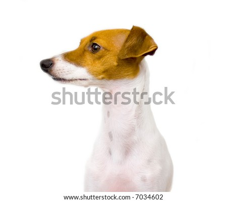 Italian greyhound profile isolated on white