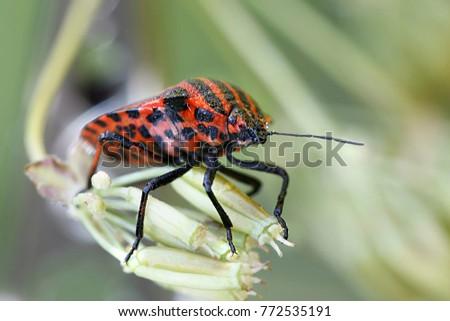 Italian striped-bug, Graphosoma lineatum  #772535191