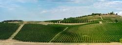 Italian vineyard in Abruzzo. The wine is Montepulciano D'Abruzzo.