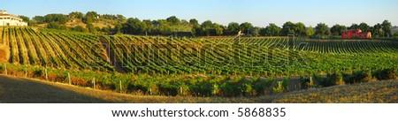 Italian vineyard landscape panoramic scene in the warm autumn, evening light