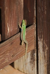 Italian wall lizard bright green and close up Latin name podarcis sicula muralis crawling along a wooden surface in Italy in summer