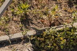 Italian wall lizard or ruin lizard (Podarcis siculus) is a mediterranean species of Lacertida. Very similar to the Sicilian wall lizard (Podarcis waglerianus) that is endemic to Sicily.