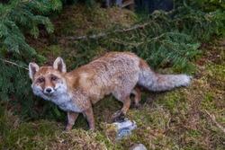 Italy. Aosta Valley. Fox (Vulpes vulpes, family: Canidae).