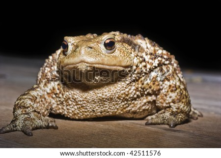 Italy, countryside, common toad (Bufo bufo) closeup