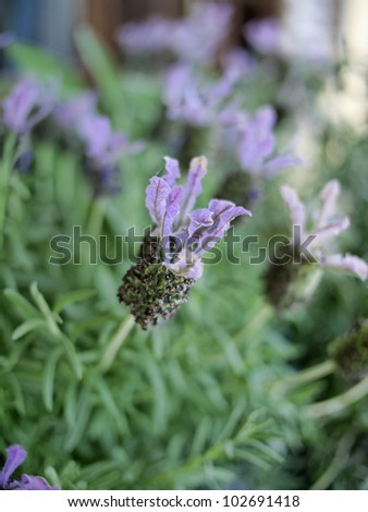 Italy, lavender flowers