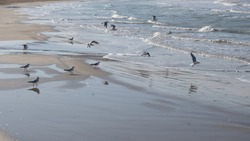 Italy. Marche. Fano. Several seagulls sitting and flying on the beach.