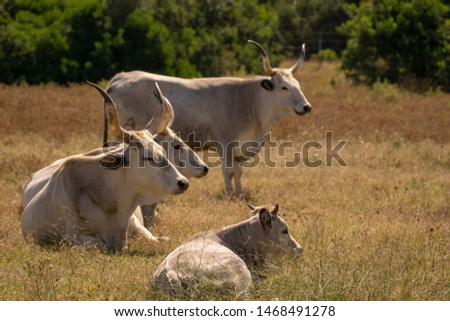 Italy Tuscany Grosseto, natural park of the Maremma nature reserve Alberese Uccellina wild animals in the wild