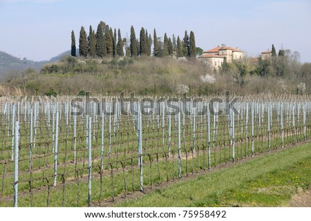 Italy: Young moscato vineyards in Veneto region