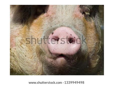 its a pig snout