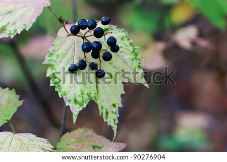 its blue berries prominently displayed, a maple leaf viburnum changes to autumn colors; beautiful pinks, purples and greens. Background is the shallow focus forest leaves, vines, branches and trees.