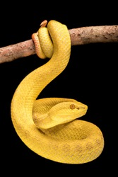 Its meals consist of birds, small frogs, and small mammals. This snake doesn't strike and release its prey; like many arboreal snakes, it strikes and holds on to the prey item until it dies.