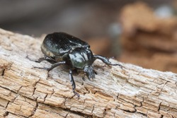 IUCN Red List and EU Habitats Directive insect specie Hermit beetle Osmoderma eremita (sin. O.barnabita) on rotten wood. This black beetle is dweller of old hollow trees in park type landscapes.